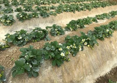 Fioritura piante coltivate
