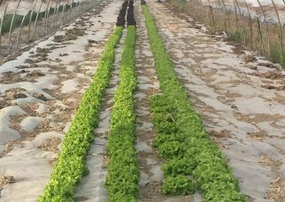 Verdura in serra