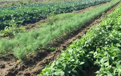 Piantagione di verdure