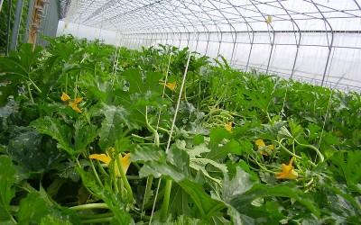 Zucchine in serra